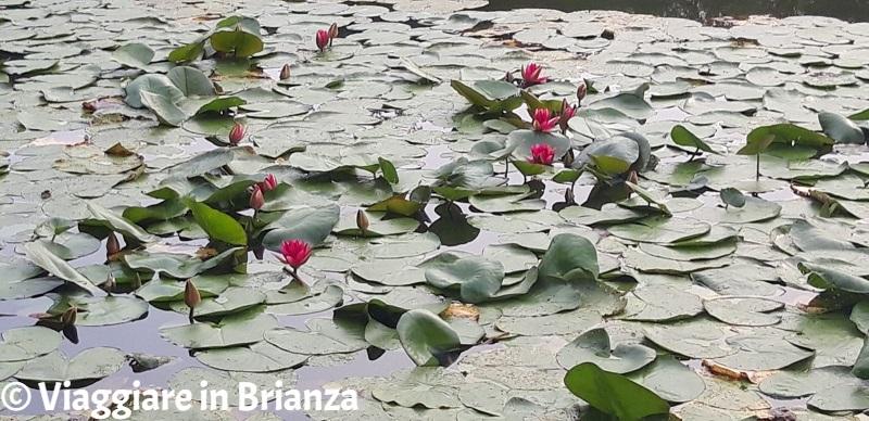 Laghi in Brianza, le ninfee del lago Azzurro a Lentate