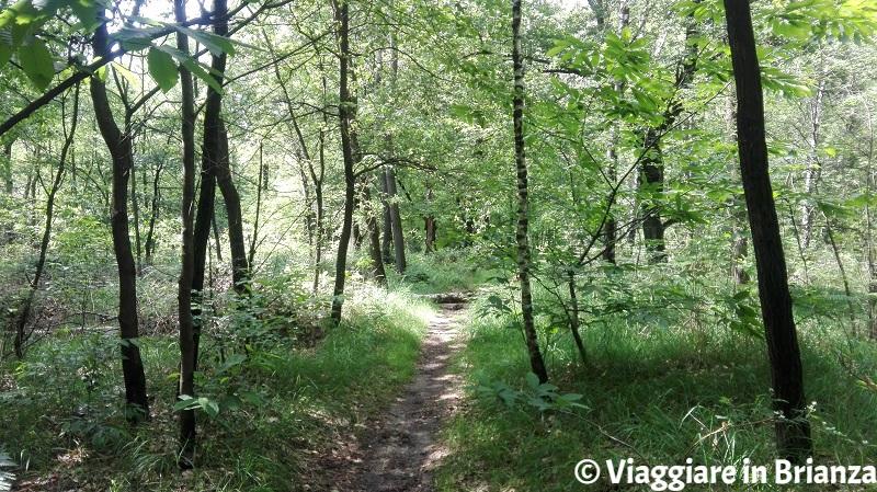 Il bosco di betulle del sentiero 6 del Parco della Brughiera Briantea