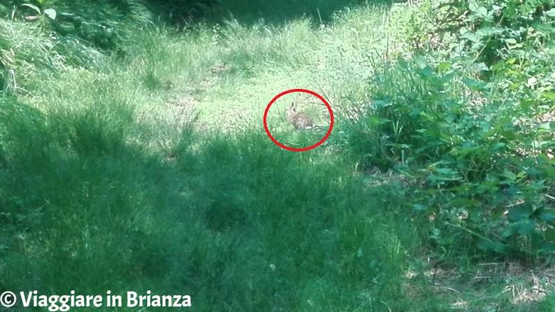 Un coniglio nel Parco della Brughiera Briantea
