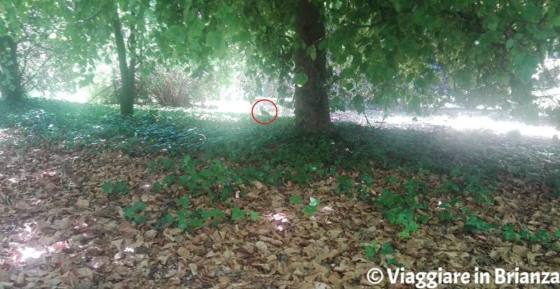 Lepre nel Parco della Brughiera Briantea