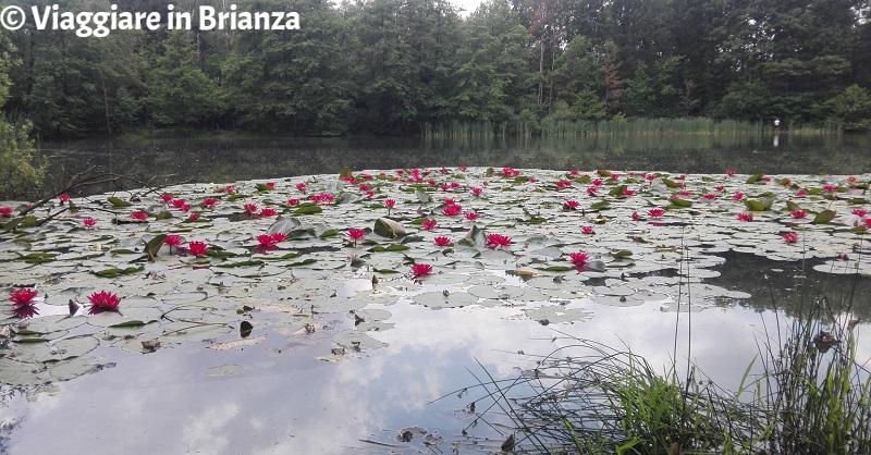 Lago Azzurro a Lentate, le ninfee