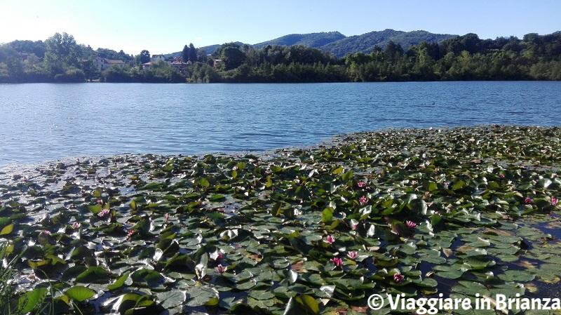 Lago di Sartirana, le ninfee in fiore