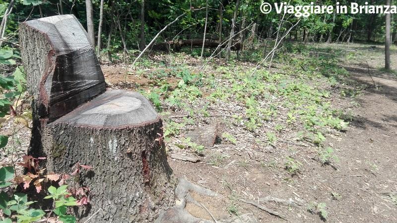 Sedute dei tronchi nel Boscaccio
