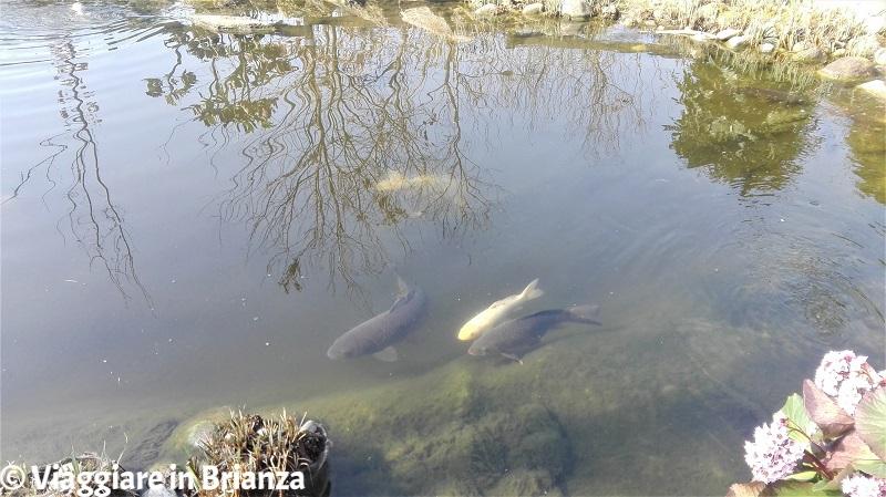 I pesci del laghetto del Parco della Ghiringhella