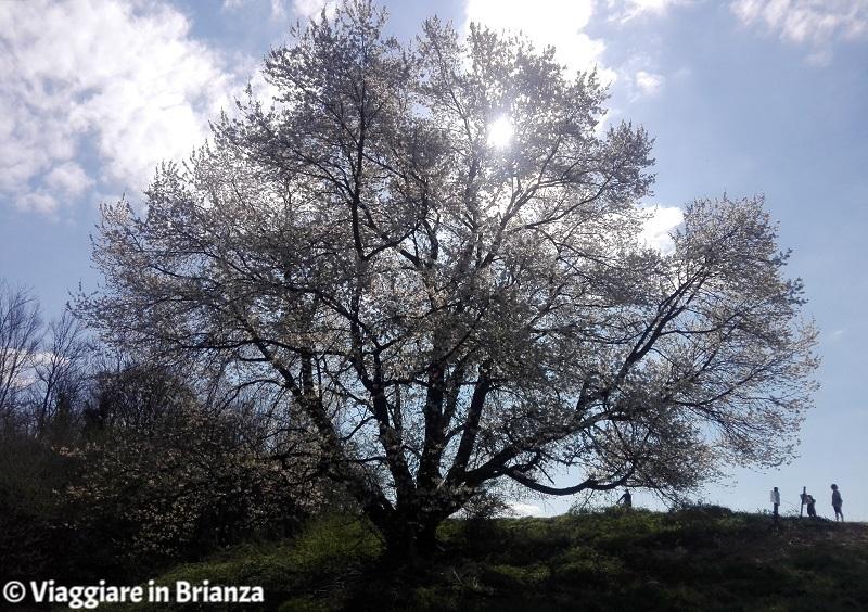 Come arrivare al ciliegio di Besana in Brianza