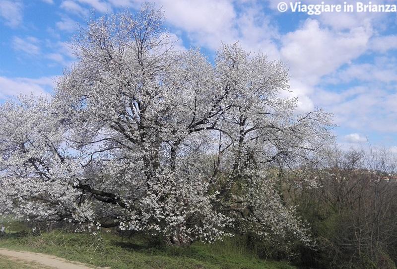 La fioritura del ciliegio selvatico di Besana