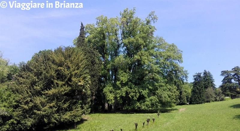 Sirtori, il liriodendro di Villa Besana