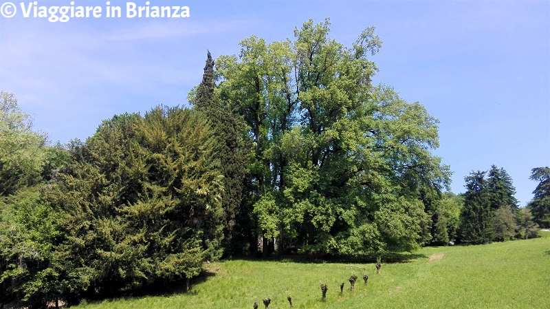 L'albero più alto d'Italia a Sirtori
