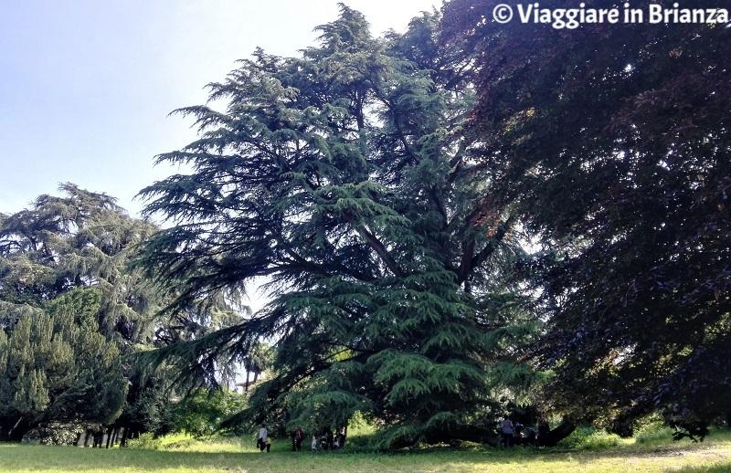 Il cedro di Villa Besana a Sirtori