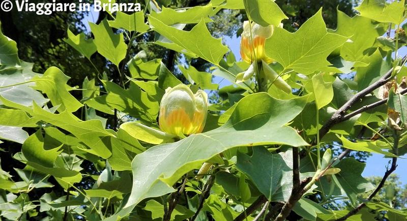 I fiori dell'albero dei tulipani